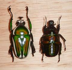 Dicronorhina derbyana pair
