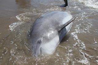 Dead dolphin from GRN trip to coastal Louisiana, May 17, 2011. (cc) GRN
