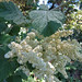 cream bush - holodiscus discolor