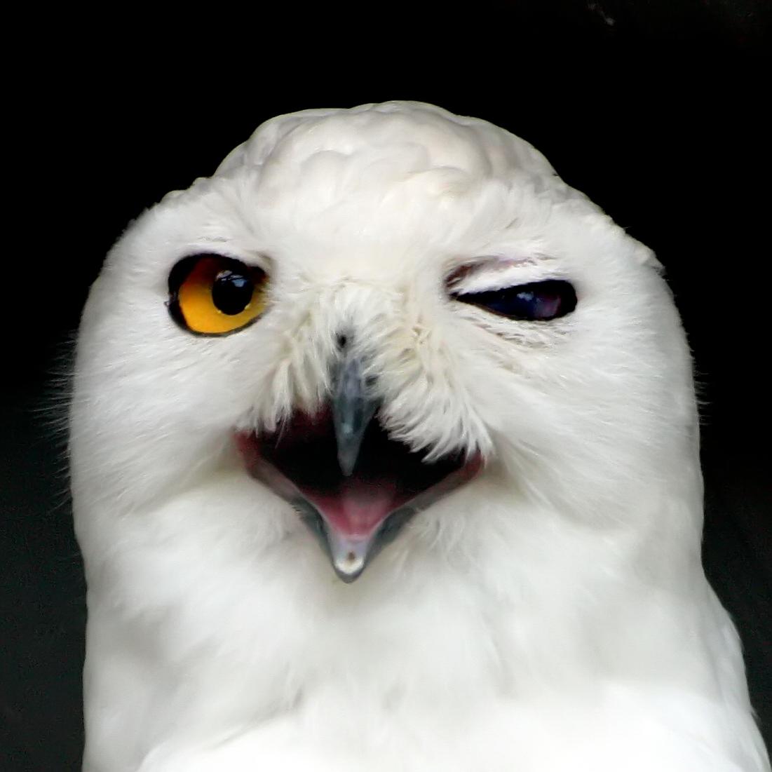 Snowy Owl Facts  KidsAnimalsFactscom