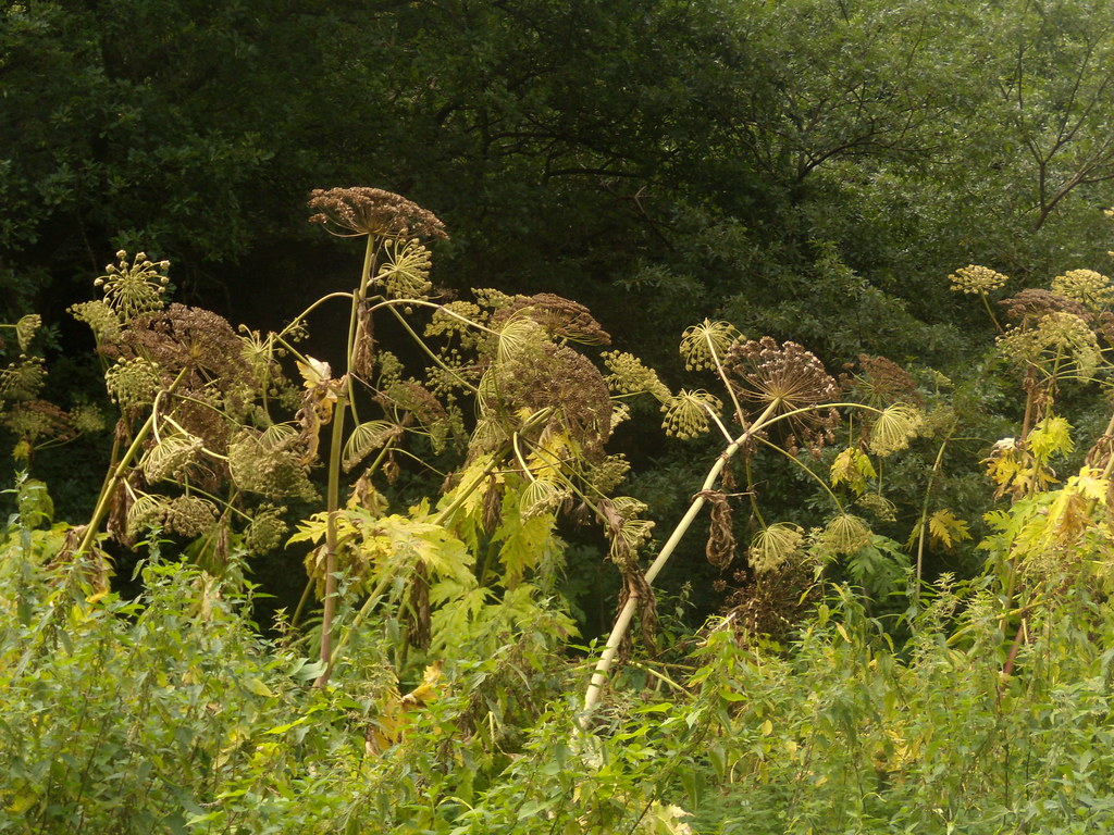 Giant Hogweed Sounds like someone you find at the top of a beanstalk. And it's just as dangerous. This 'noxious weed' has corrosive sap that can scar you for life. But it's pretty spectacular. These were 8-10 ft tall - they can grow to twice that. They were safely distanced from the path by some vicious nettles. Wanborough to Godalming