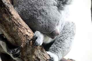 Image of コアラ near Hino. japan zoo tokyo 親子 多摩動物公園 コアラ