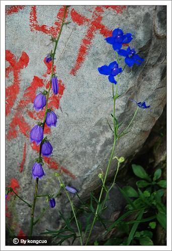 北京阳台山的常见野花-毛茛科翠雀属翠雀2
