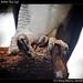 Harpy eagle, Belize Zoo (4)