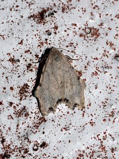 Tortricosia excisa (Eribidae: Arctiinae: Lithosiini)