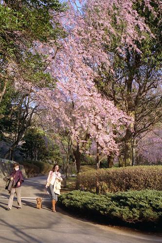 SAKURA - Arai Castle Ruin Park by Lono_Luno