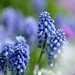 Muscari by myu-myu