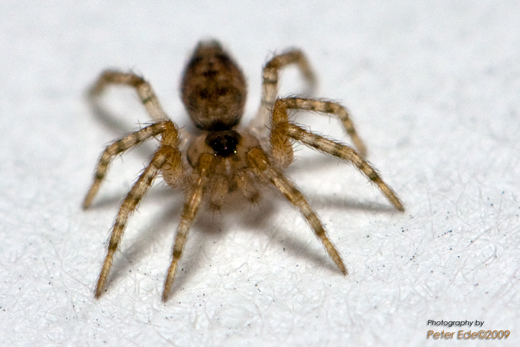 Baby Wolf Spider -- Macro in photography-on-the.net forums