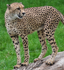 animal, cheetah, small to medium-sized cats, fauna, carnivoran, wildlife,