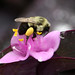 Carpenter Bee Collecting Pollen! by kathleenjacksonphotography