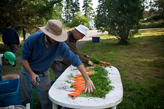 Prepping the carrots for the CSA