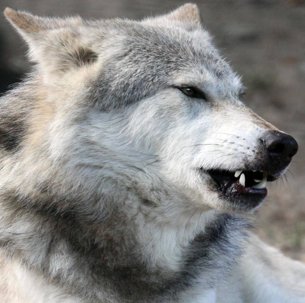 WOLF PUPPIES FOR SALE UK - WOLF PUPPIES FOR | Wolf Puppies