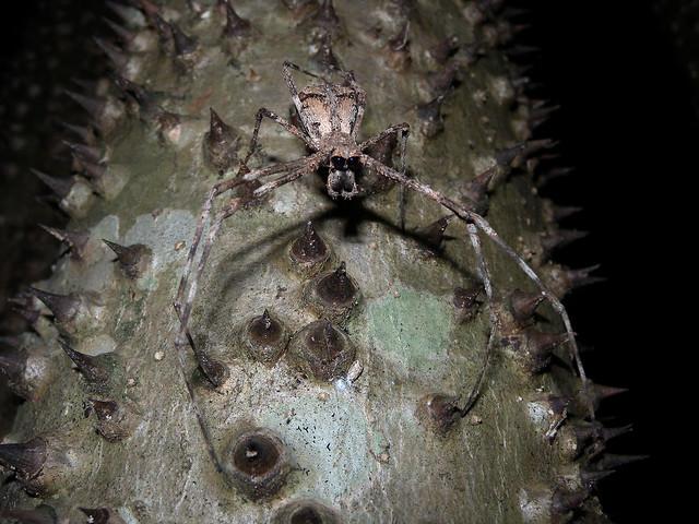 Araña lanzadora de tela, Parque Nacional de Ankarafantsika, Madagascar