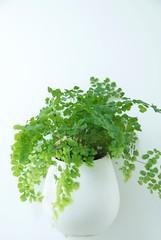plant, parsley, herb,