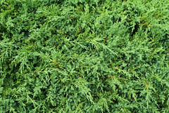 evergreen, leaf, southernwood, plant, herb, green, biome,