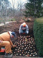 Bulbs being planted today.