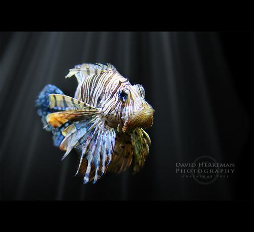 light fish canon 50mm belgium belgique lion belgië explore 7d rays 18 lionfish poisson paradisio wallonie daiza hainaut pterois explored brugelette pairi pairidaiza davidherreman