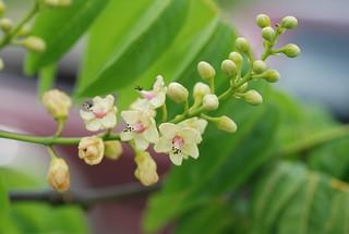 Stahlia monosperma flower