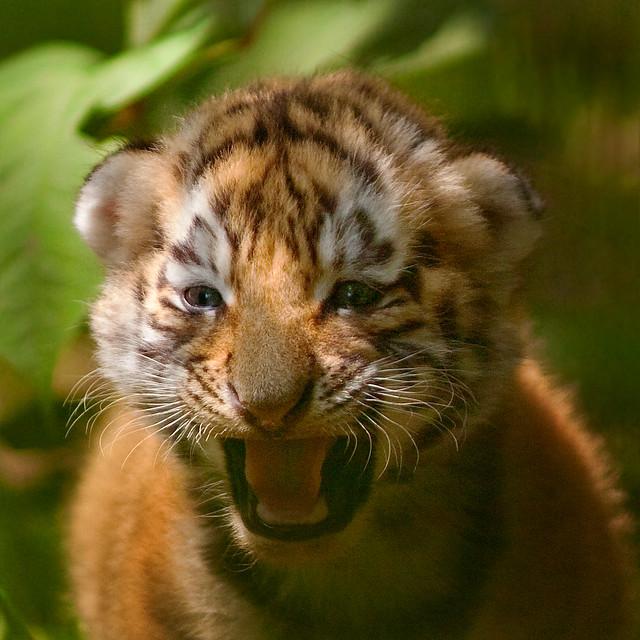siberian tiger cub | Flickr - Photo Sharing! Cute Siberian Tiger Cubs