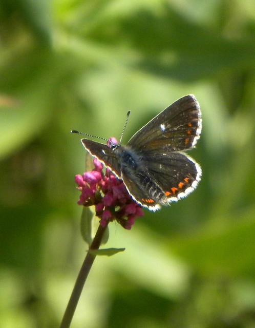 Northern Argus: Northern Brown Argus Butterfly