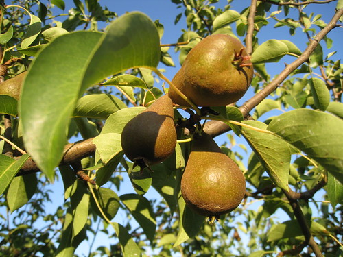 Ripe pears growing - upick