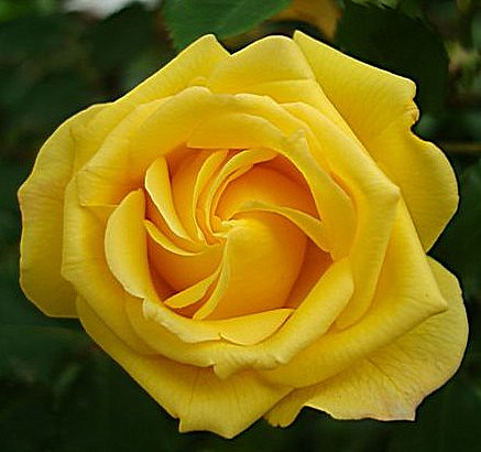 Golden Lady Rose
