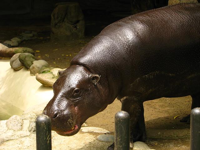 thialand Midget hippo