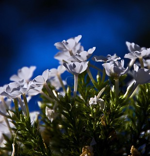 Phlox on Blue