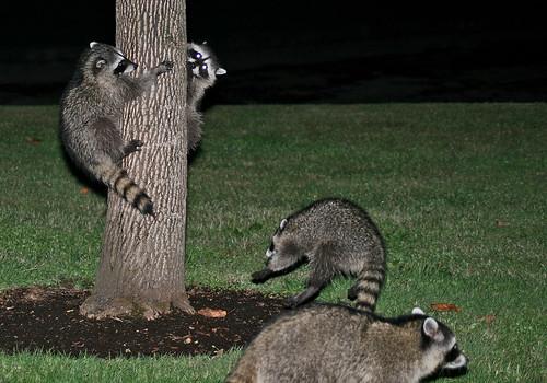 family nature animal backyard wildlife playtime raccoons procyonlotor kentwa shesnuckinfuts september2009
