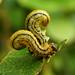 Sawfly larvae ??