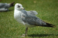 Sea Gull on Grass