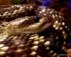 Black-tailed Rattlesnake - Photo (c) Landahlauts, some rights reserved (CC BY-NC-SA)