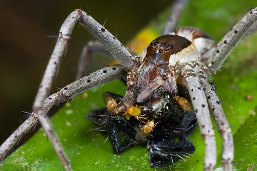 nursery web spider with jumping spider prey IMG_3161 copy