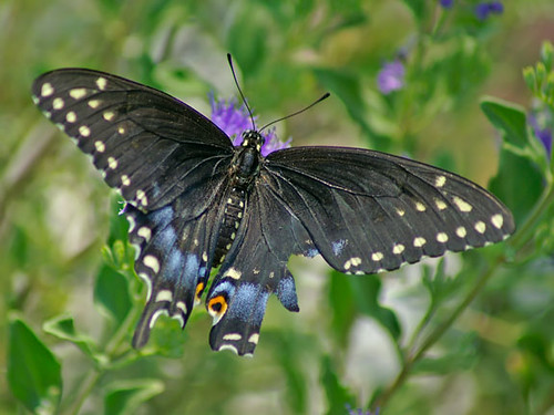 justin nature butterfly insect texas wildlife lepidoptera blackswallowtail