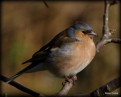 Cock Chaffinch Eating
