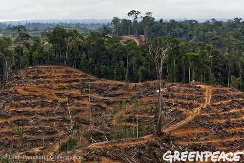 trees indonesia destruction aerialview deforestation palmoil proctergamble rainforests headshoulders foreststopography palmoilproduct