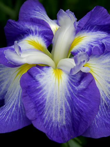 JAPANESE IRIS, NEWLY UNFOLDED