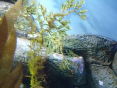 DSC01670-Leafy Sea Dragon