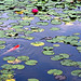 Water Lily and Carp[pentax k-7]