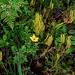 Lycopodium thyoides por Polylepis