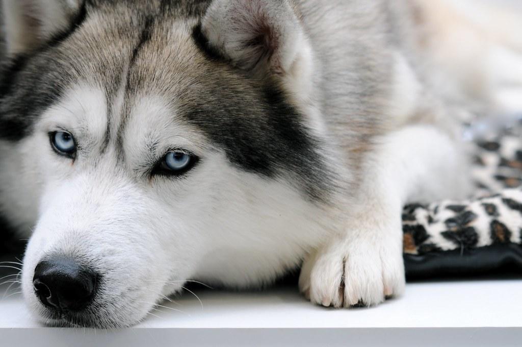 Милые собаки  хаски 47 фото  Триникси