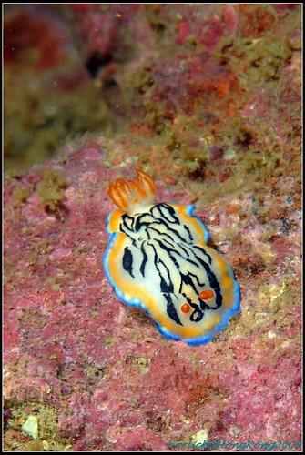 Hypselodoris maritima_HK09