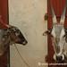 Lovin' the Bulls of Pondicherry
