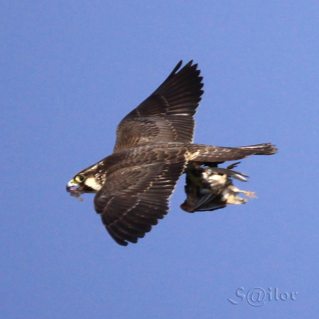 Falconiformes. sub Falconidae - sub fam Falconinae - gênero Falco - Página 2 4117415209_bf05405dfb_z