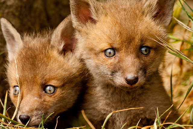 Fox Cubs Flickr Photo Sharing