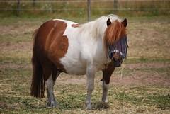 animal(1.0), mane(1.0), mare(1.0), stallion(1.0), mammal(1.0), horse(1.0), grazing(1.0), mustang horse(1.0), pasture(1.0), pony(1.0),