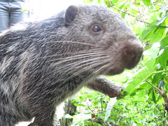 animal, rodent, muridae, fauna, whiskers,