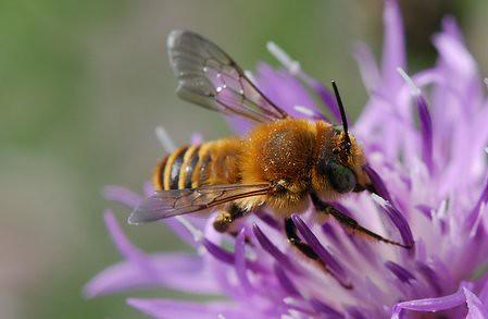Lithurgus Chrysurus Mediterranean Wood Boring Bee Male