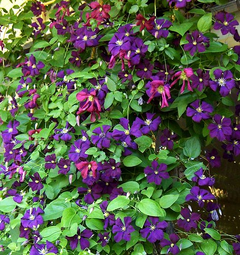 clematis viticella 39 etoile violette 39 flickr photo sharing