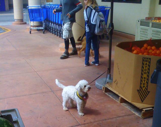 Small Fancy Dog Breeds